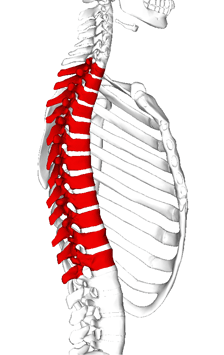 thoracic back pain diagram